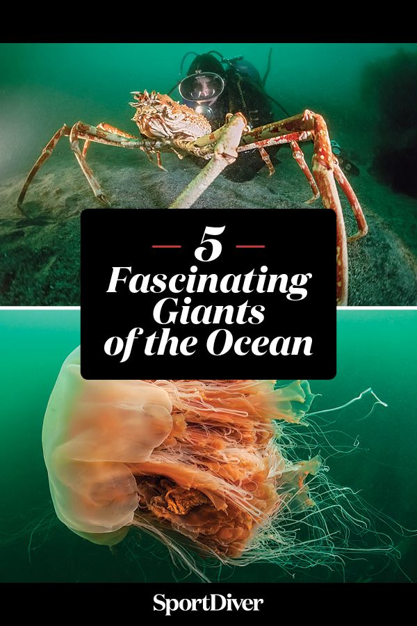 Spider Crabs, Squids and More: 5 Fascinating Giants of the Ocean — Evolution paid off in a big way for a crab the size of a kayak, legendary squid and four other species that may shock you with their sheer size.