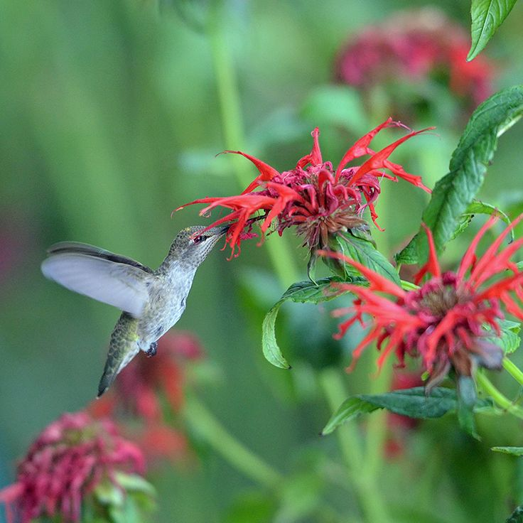 Understanding the migration patterns of Hummingbirds to