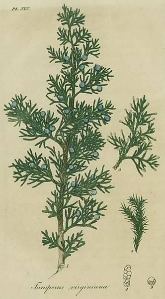 juniperus = вирджински/червен кедър