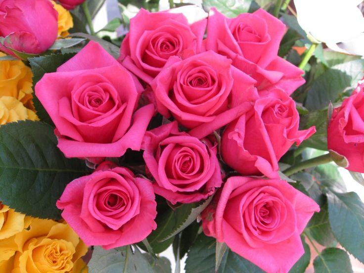 rosas | Imágenes de flores y plantas: Rosas