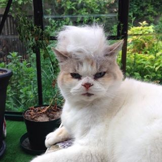 And finally place the toupee on the cat. | A Casual Reminder That There's An Instagram Account Of Cats With Trump Toupees