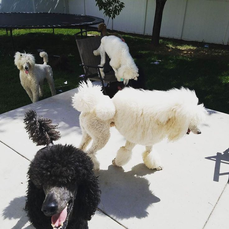 You may only see 4 but they're are actually 7 in this picture minus the 2 minipoodles i couldn't get in the picture because they're attached to me.  3 white standards 1 smiling blue behind Rider are his 2 pups Jaguar & john on the grass is a brown Danielle. It was a very busy week for me lastt week. Wish i had time to tale more ljcs.