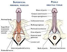 bulbospongiosus ischiocavernosus male Pelvic Anatomy