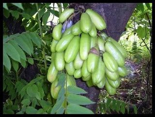 Belimbing Wuluh ( Averrhoa Bilimbi L)