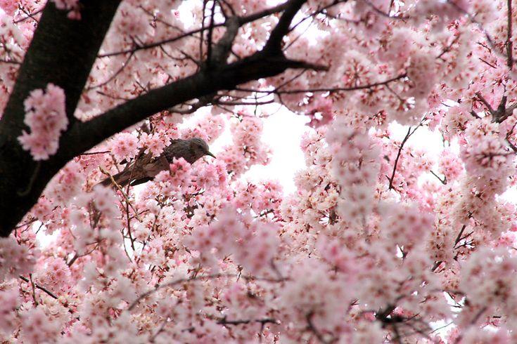 "Yukihiro Yoshida : look petite ""explosion"" http://digianalogue.com/photoblog/archives/2007/03/look_petite_explosion.php #Cherry #Sakura #桜 #Spring #春 #Hana #Flower #花 #Tori #Bird #鳥 : #osanpocamera #digianalogue : #YukihiroYoshida #Photography"
