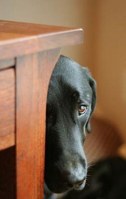 black labrador.