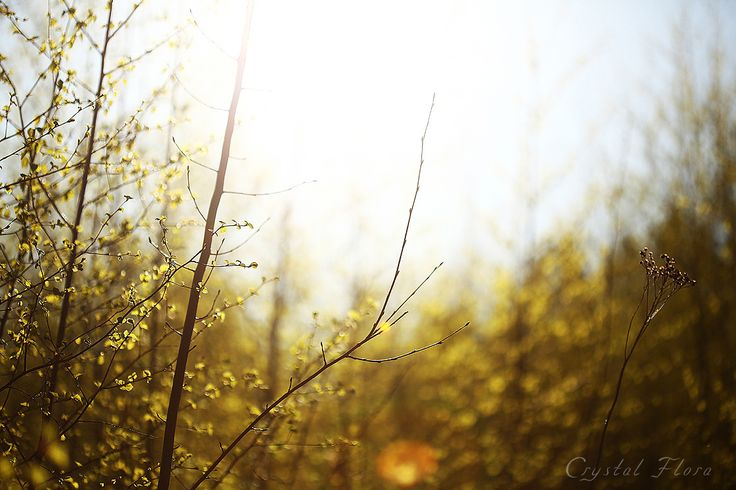 Березки, молодые листочки / Birches, young leaves