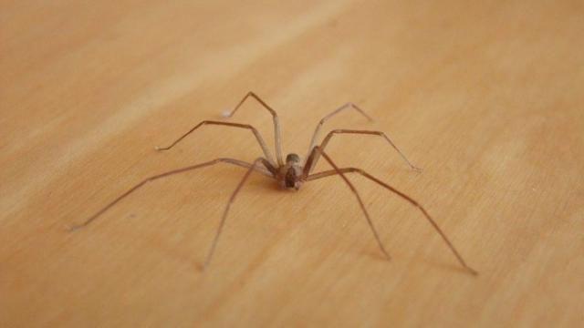L'araignée violon, autrement baptisée la « recluse brune »