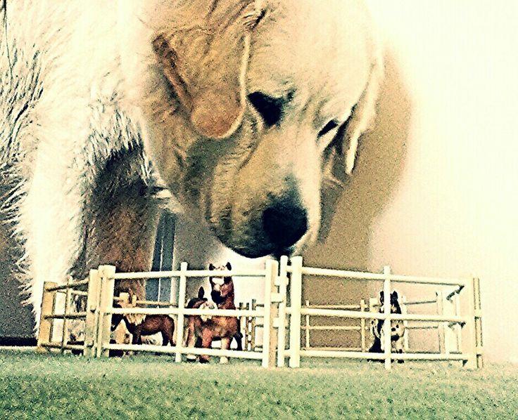 My polish tatra sheepdog/ Podhalaner