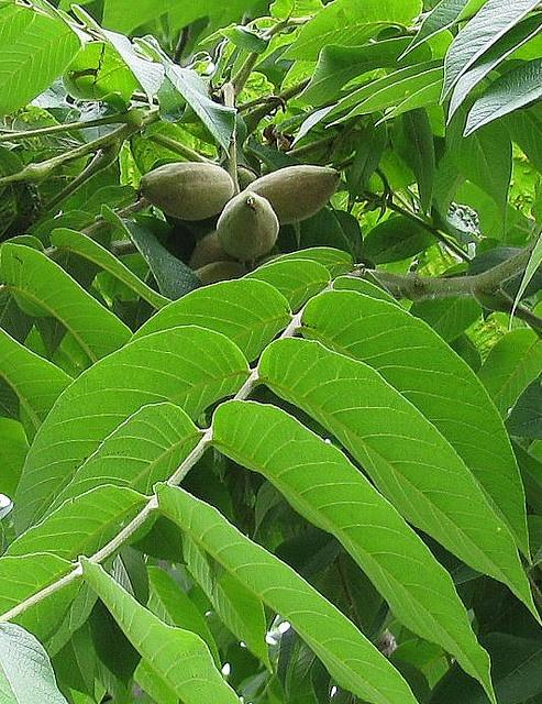 Green Fruit Tree Identification Part - 36: Juglans Cineria Butternut Tree
