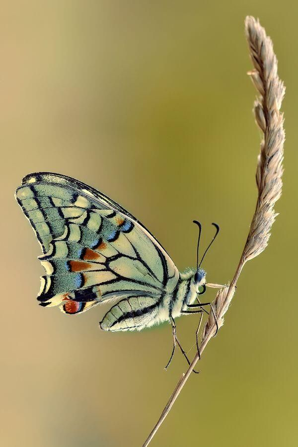 """Delicate Papilio Machaon"""