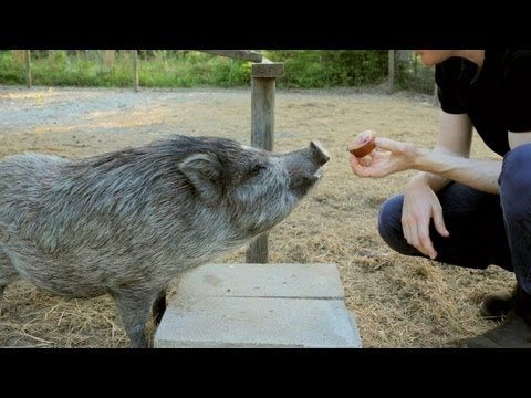 ▶ Pigs Love Muffins: Trimming Pig Hooves. Becky's Homestead - YouTube