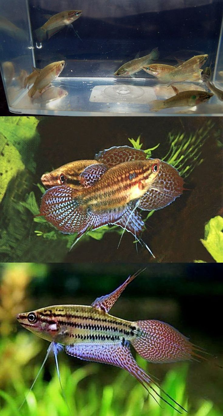 Croaking gouramis tricopsis vittata good community fish for Good community fish