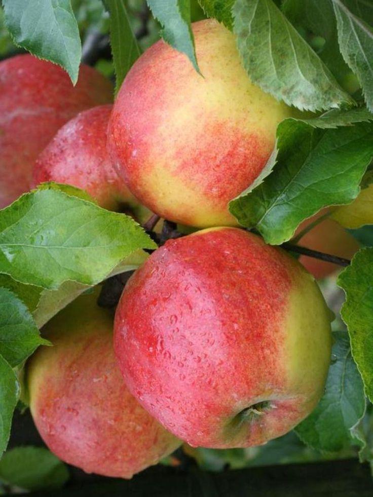 Apple - Jonagold