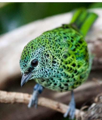 Spotted Tanager | Animals