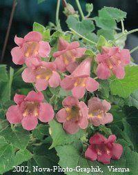 Asarina Rose vine seeds - Bright rose flowers on heavy blooming  vines.
