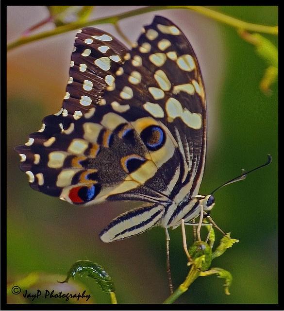 Citrus Swallowtail by JasonPPFL, via FlickrLadybugs Butterflies, Butterflies Wings, Butterflies Moth