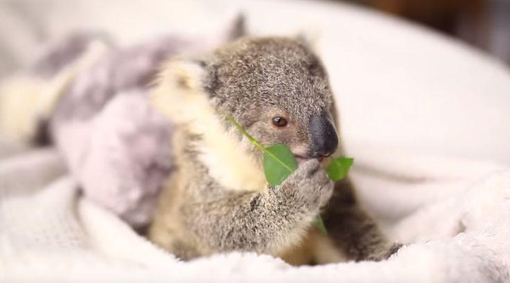 koala - 444