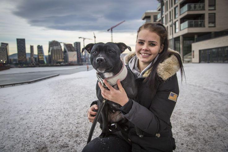 Muskelhunden Staffordshire bull terrier er blitt Oslos mest populære rase. Det kan by på utfordringer. - Aftenposten