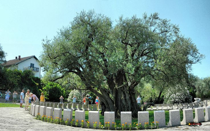 Old Olive Tree, older then 2000 year, Nikon Coolpix L310, 8.4mm, 1/800s, ISO80, f/3.6, -0.7ev, panorama mode: segment 4, HDR photography, 201607041056
