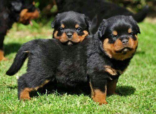 Baby Rottweiler Pups Leilaworldblog | findanimal.