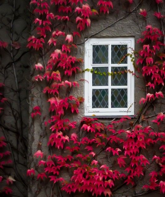 Autumn is my favorite Colour. Red leaves on a House in my nabourhood.