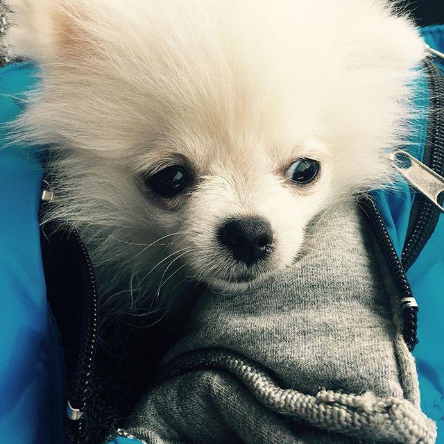 目線がイケメンっぽい #ラフ君  #愛犬 #ポメラニアン#白いポメラニアン #鼻水小僧#モフモフ #トリミング#イケメン#レイクタウン