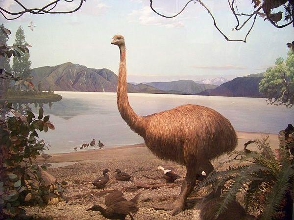 Одна из музейных реконструкций птицы моа (фото <noindex><a target=_blank href=http://www.flickr.com/photos/19178753@N04/2995105989/>Stephen Janko</a></noindex>).