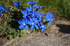 Gencianas, flora típica de Sierra Nevada.