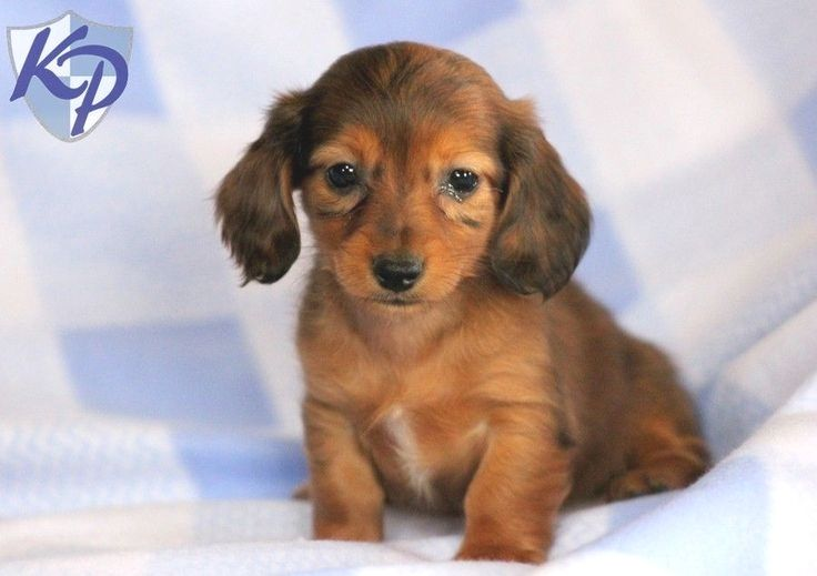 Pin By Jennifer Silva On Best Doxies Ever Dachshund Puppies