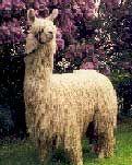Alpaca.com - World's Premier Alpaca Resource and Marketplace I love alpacas and I love alpaca.com - Alpacas for Sale 1 866 ALPACAS