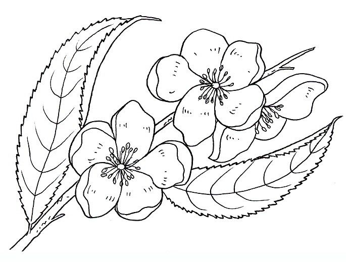 яблоневый цвет картинка раскраска еще