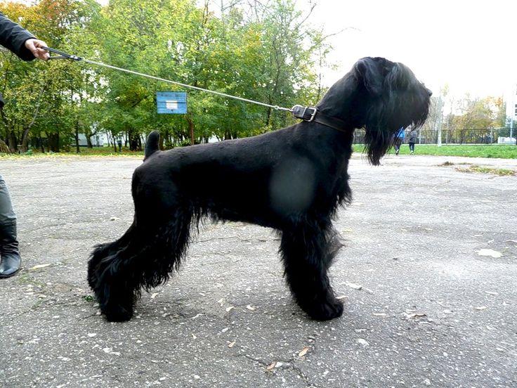 Black Russian Terrier - Русский Черный Терьер | Черныш.ру