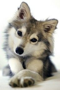 "POMSKY: a cross between a husky and a pomeranian.  (I like to think of this one as a WOLF/pomeranian cross  because he looks a tad ""wolfie."""