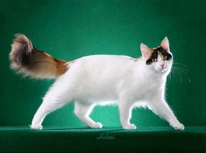 Turkish Van photographed by Helmi Flick - I've always loved this breed!