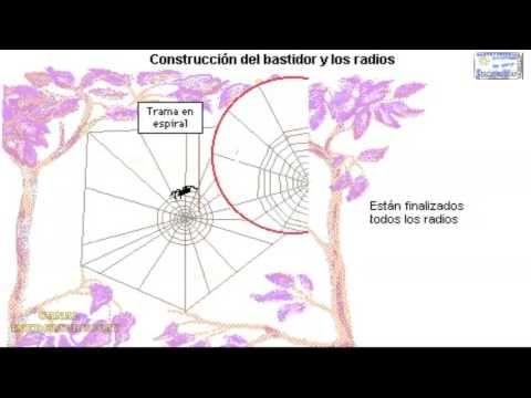 TELA DE ARAÑA COMO LA CONSTRUYE REPRESENTACION Y EXPLICACION ANIMADA