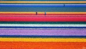 Campos de colores de tulipanes