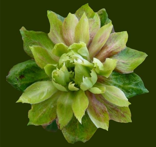 Fiori Verdi Nomi.Rose Chinensis Vrideiflors