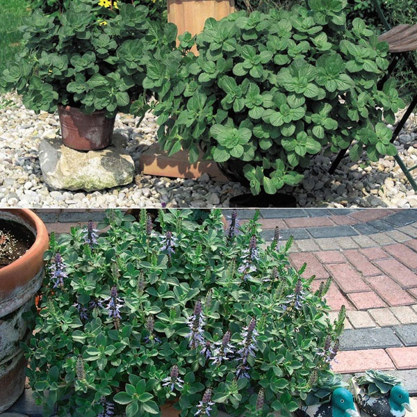 Coleus Canina: The Cat Repellent Plant Should plant this to keep help deter the nasty neighborhood cats.