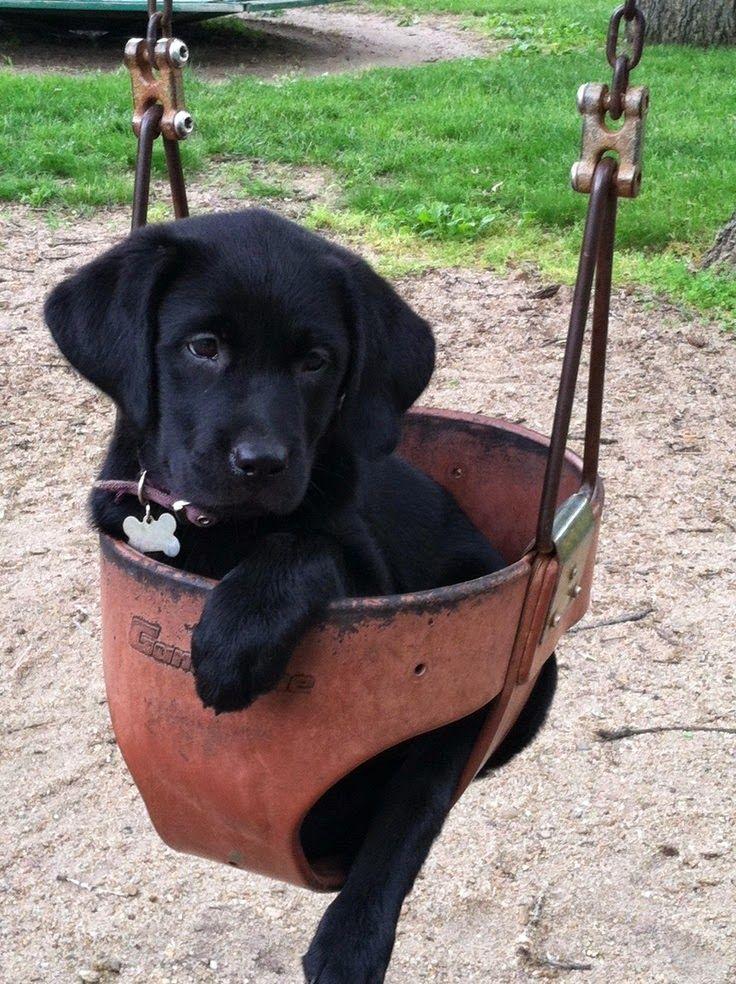 Top 10 Most Affectionate Dog Breeds ~ The Pet's Planet Labrador Retriever is #1