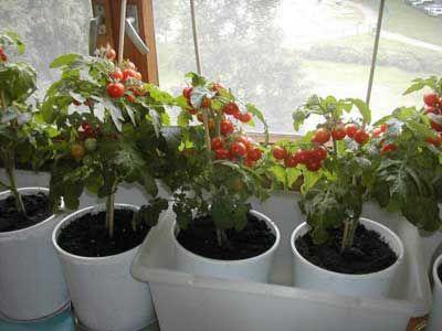 выращивание помидоров на подоконнике