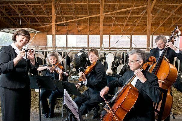 Pesquisadores da Universidade de Leicester tocaram vários tipos de música para mil cabeças de gado por 12 horas seguidas, das 05h00 às 17h00, durante nove semanas.  As vacas expostas a música clássica e canções lentas produziram 730 mililitros de leite a mais do que as que ouviram músicas mais agitadas.