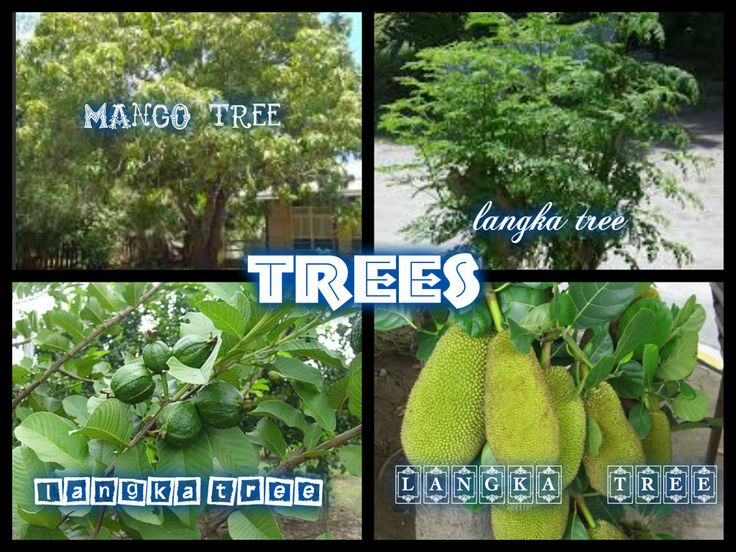 I post 4 kind of trees the 1st is The Mango tree, the mango  tree is our pabansang prutas. The 2nd is malunggay tree it  is also known as mericle tree. The 3rd one is the guava tree, They have a pronounced and typical fragrance, similar to lemon rind but less sharp. The last one/the 4th  is the langka or jack fruit tree The flesh of the jackfruit is starchy and fibrous and is a source of dietary fiber. The flavor is comparable to a combination of apple, pineapple, mango and banana. -khianna…