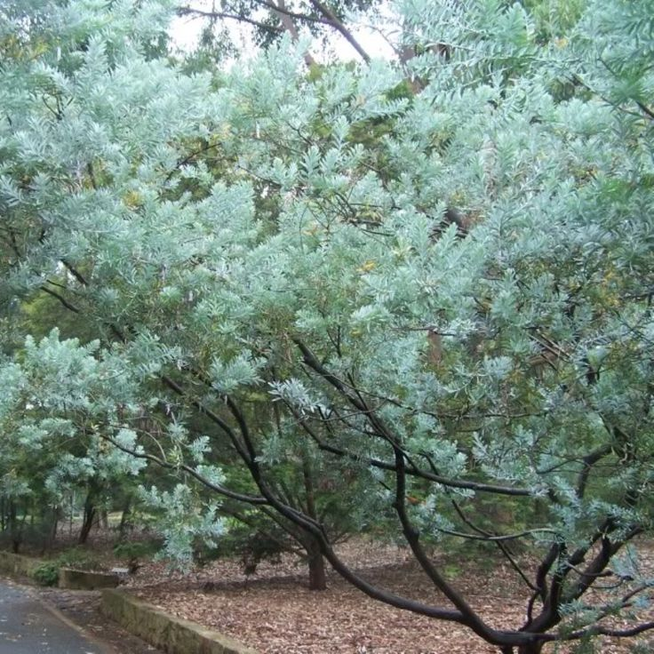Acacia covenyi, Blue Bush