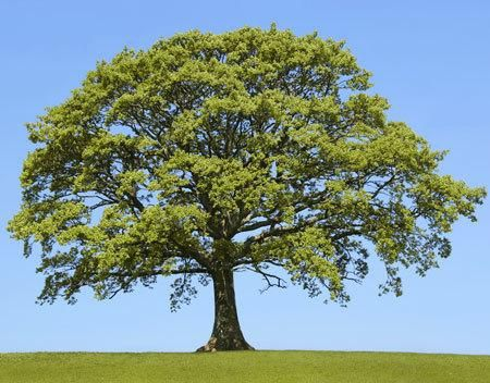 Finally, a mighty oak that grows mighty fast! - Want the majestic presence and shade coverage if an Oak, but don't want to wait 50 years? The Sawtooth Oak, an Asian Oak that has been grown in the U.S. since the mid 1800's, fills the bill! It grows at the rapid pace of 2 to 3 feet a year, and can reach 30 feet in 15 years. With a mature size of...