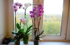 Orchidej patří mezi oblíbené rostlinky v mnoha domácnostech. Jednou nevýhodou je, že své květy neukazují tak často. Někdo si koupí účinnější hnojivo a někdo rostlince udělá šokovou terapii tím, že ji nechá na nějaký čas v tmavé místnosti.   Dnes vám ukážeme triky, se k