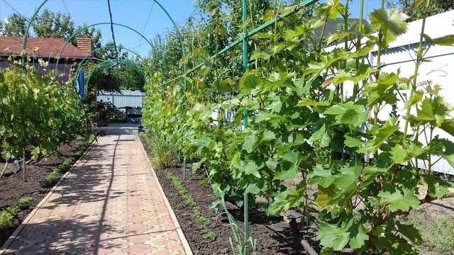 Возможно ли сделать шпалеры для винограда своими руками так, чтобы увеличить урожай в 2 и более раза? Да!— ведьосновное условие урожайности винограда — равномерное освещение куста в течении всего св…