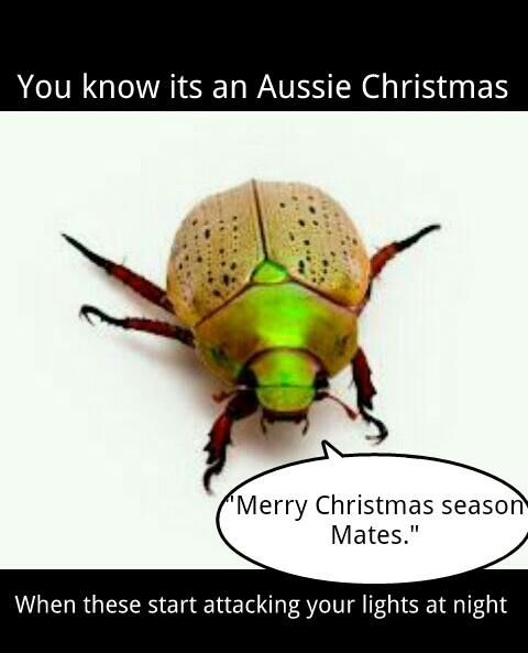 Australian Christmas beetle- i get heaps of these and the dog eats them also they stick to your shirt and feel prickly but i love them :)