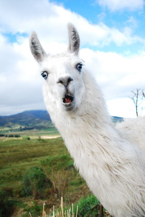 7 #Lhamas que vão te convencer a ser seu próximo bicho de estimação http://wnli.st/1Fg51fZ  // This Llama sure does look surprised if I do say so myself..... By the way, I can't read your comments very well because all I speak is the English language & I can't read any other language either.....