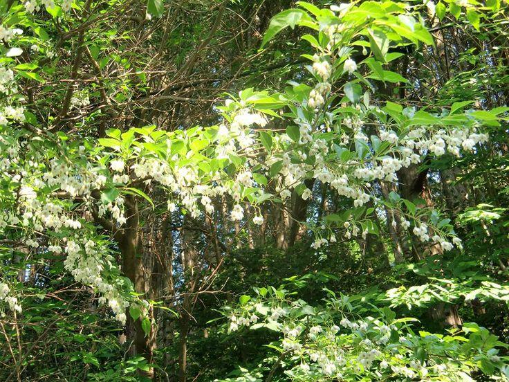 5月7日【エゴノキ】学名:Styrax japonica形態:落葉広葉樹 樹高:小高木分類:エゴノキ科花色:白色。使われ方:庭木、公園樹などに使われています。「Present Tree from 熱海の森」の入口近くには、自生のエゴノキがあります。写真は去年の5月にその場所で撮ったもの。毎年、この時期が楽しみです。